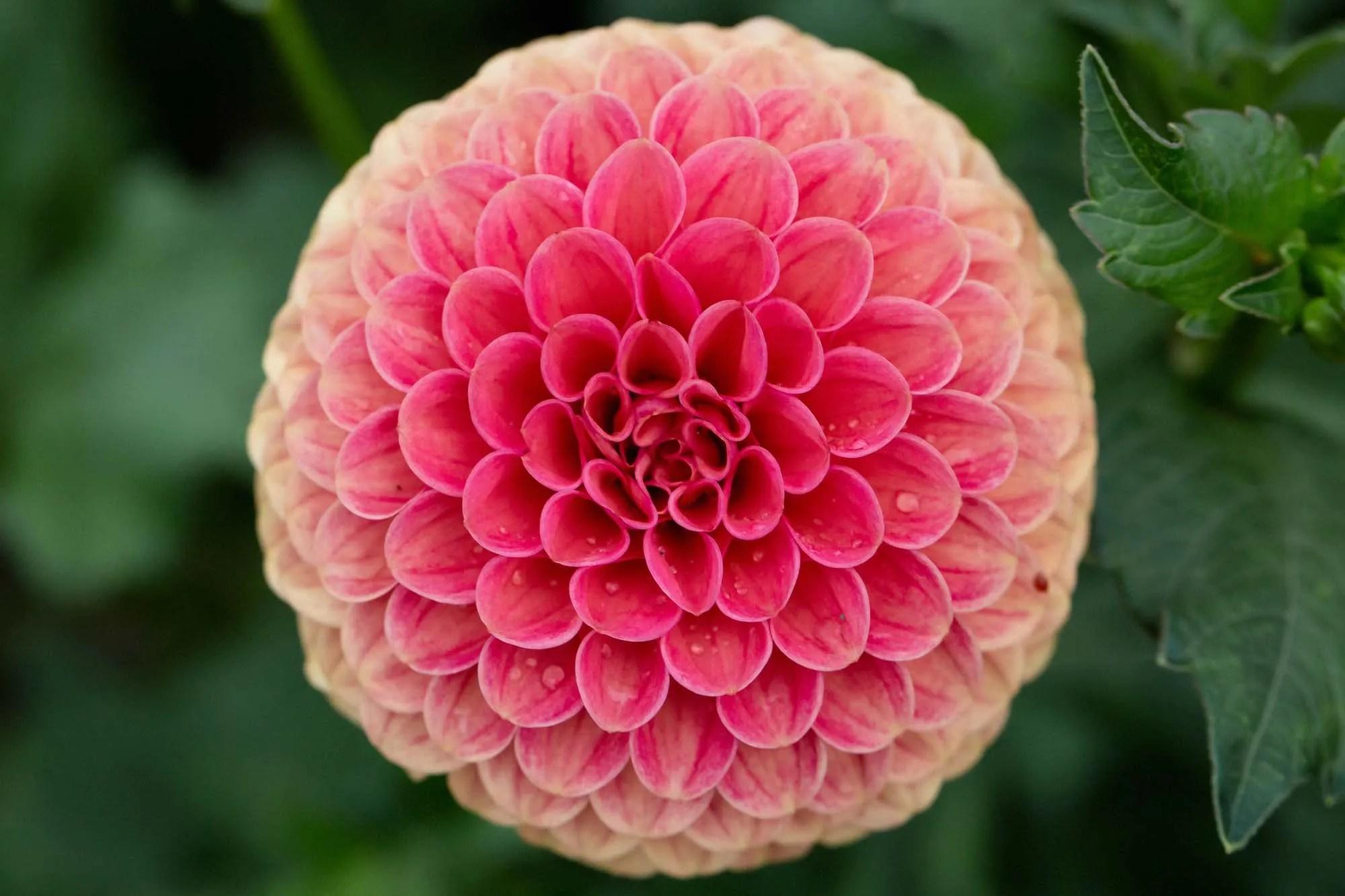 Perfect Symmetry Dahlia