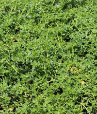 "Herniaria glabra ""Green Carpet"" - Buy Online at Annie's ..."