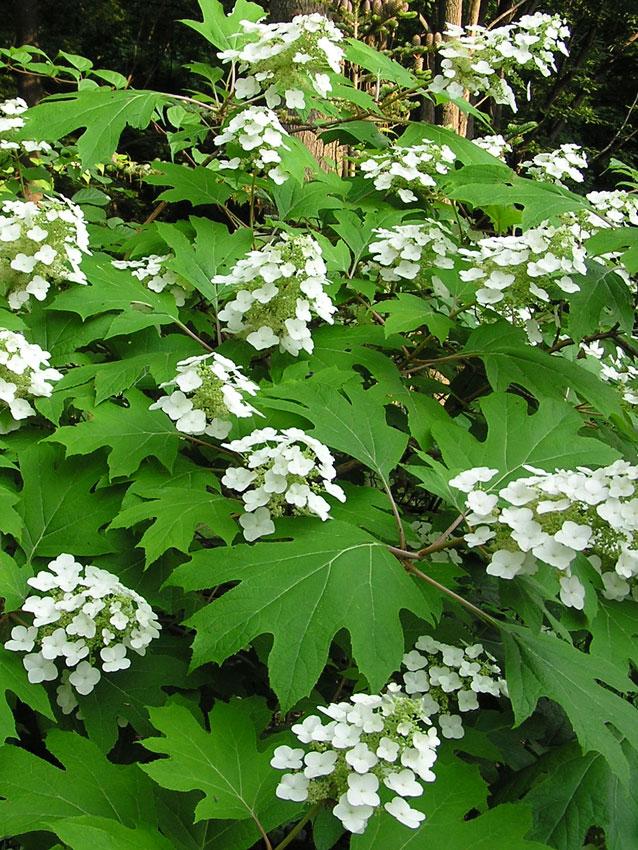 Hydrangea quercifolia Pee Wee Oakleaf Hydrangea  Buy
