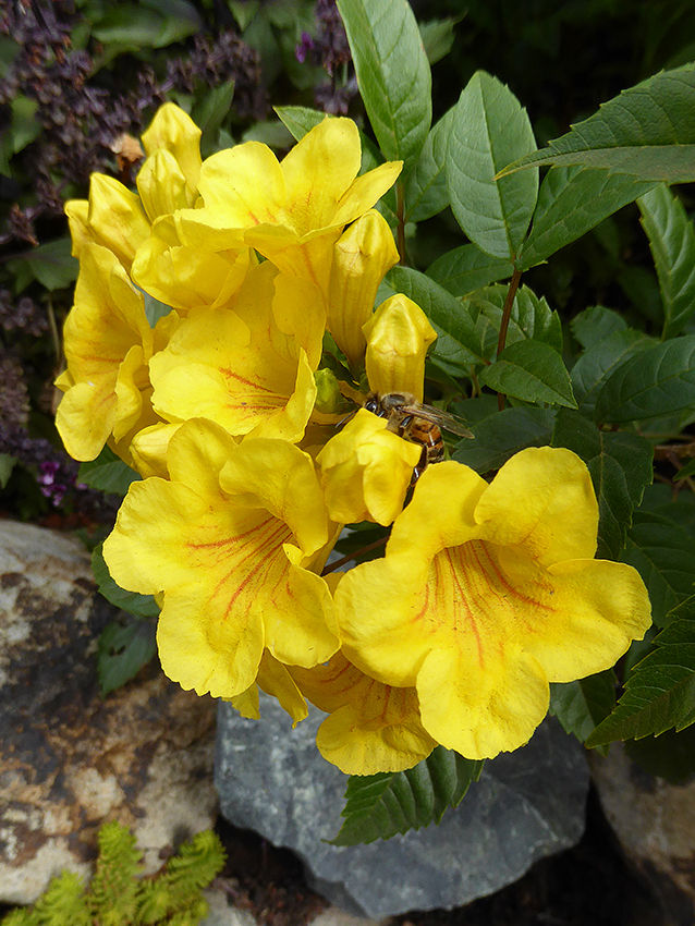 Tecoma stans Mayan Gold  Buy Online at Annies Annuals