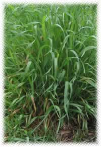 Couch Grass Benefits