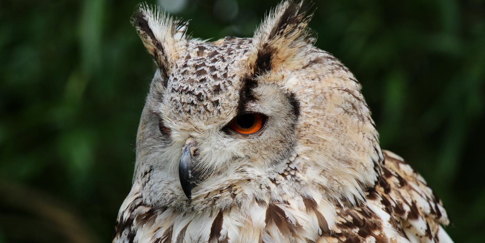 Falconry owl