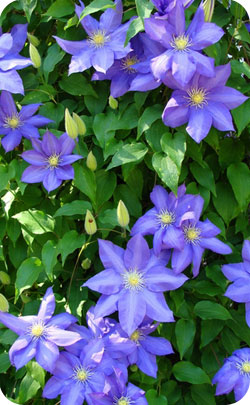 8th year anniversary appropriate flower - Clematis image