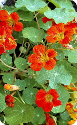 Nasturtium flowers being the appropriate flower for the Ruby Wedding
