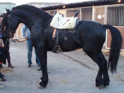 Bella frisone cavallo in vendita
