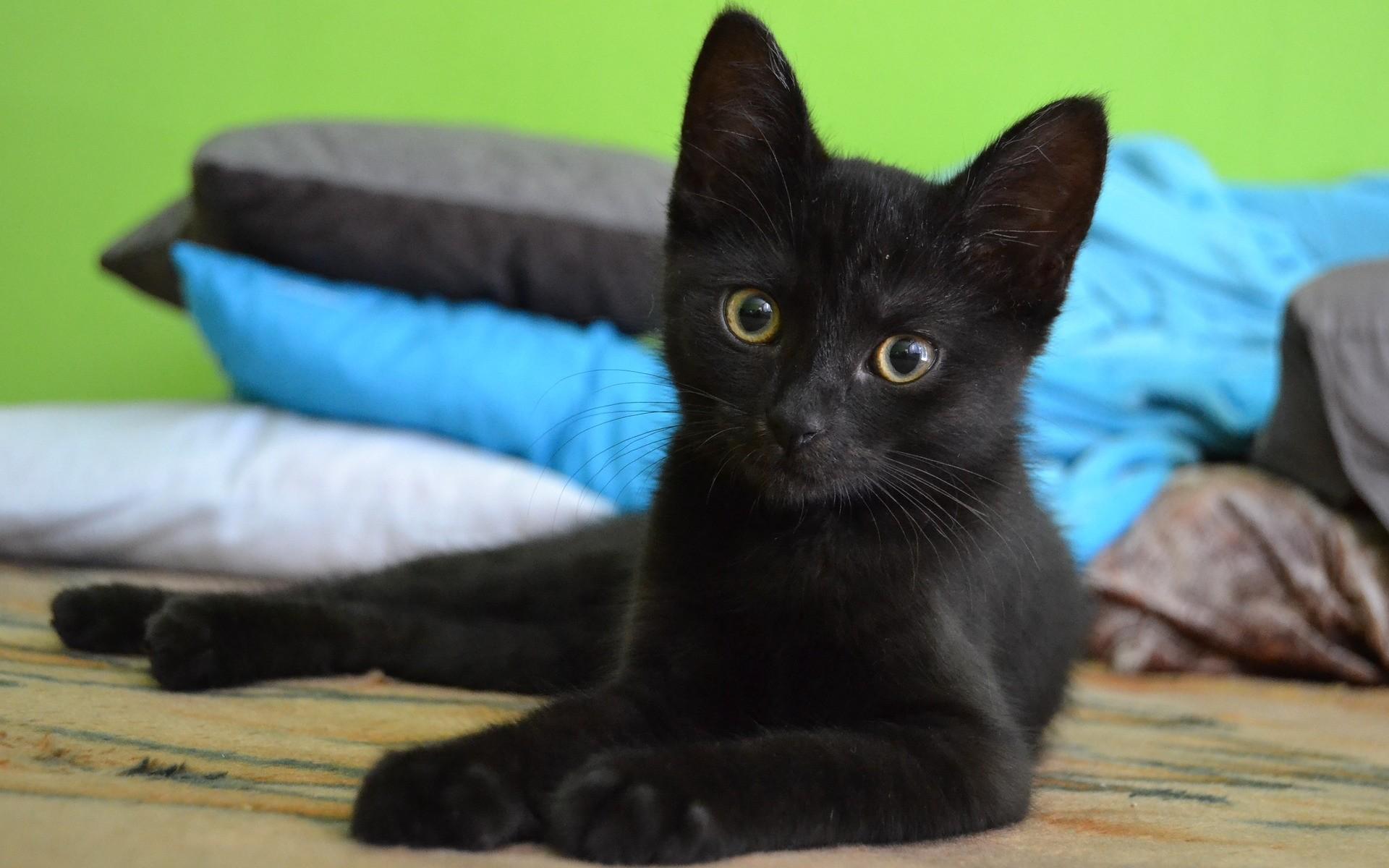 fonds d ecran chats chatons gratuits