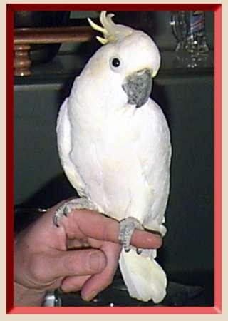 Pappagalli Grande afican grigio are e cacatua per la
