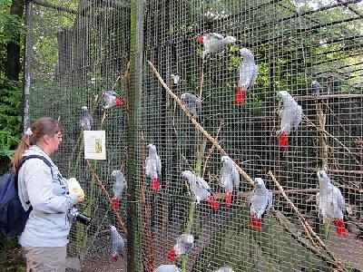 Pappagalli e pappagalli uova per la vendita