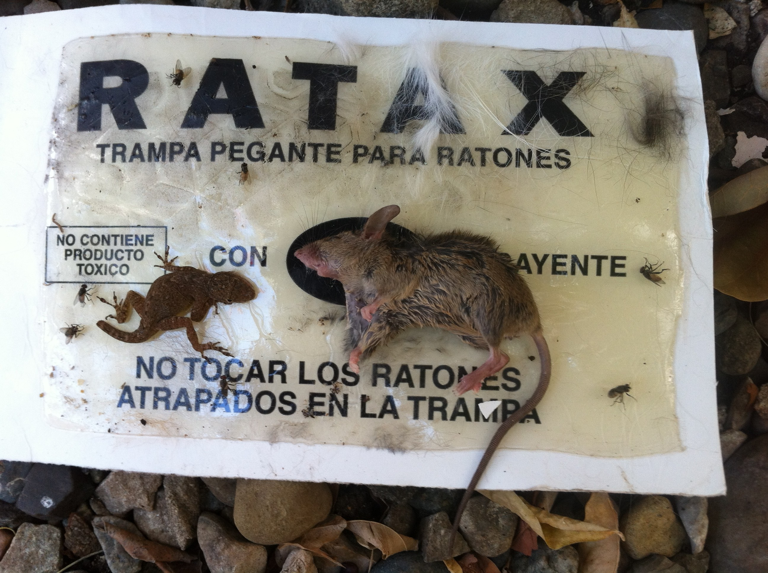 Rodent Sticky Trap Snags A Rat And A Lizard Anole Annals