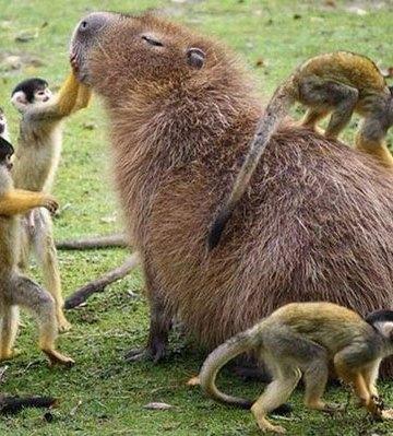 happy capybara with monkeys