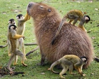 happy capybara with monkeys
