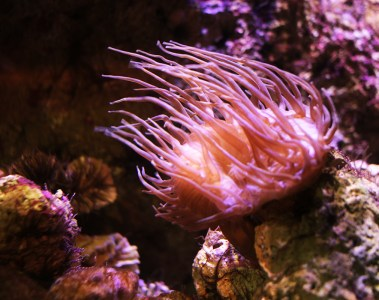 anemone in aquarium