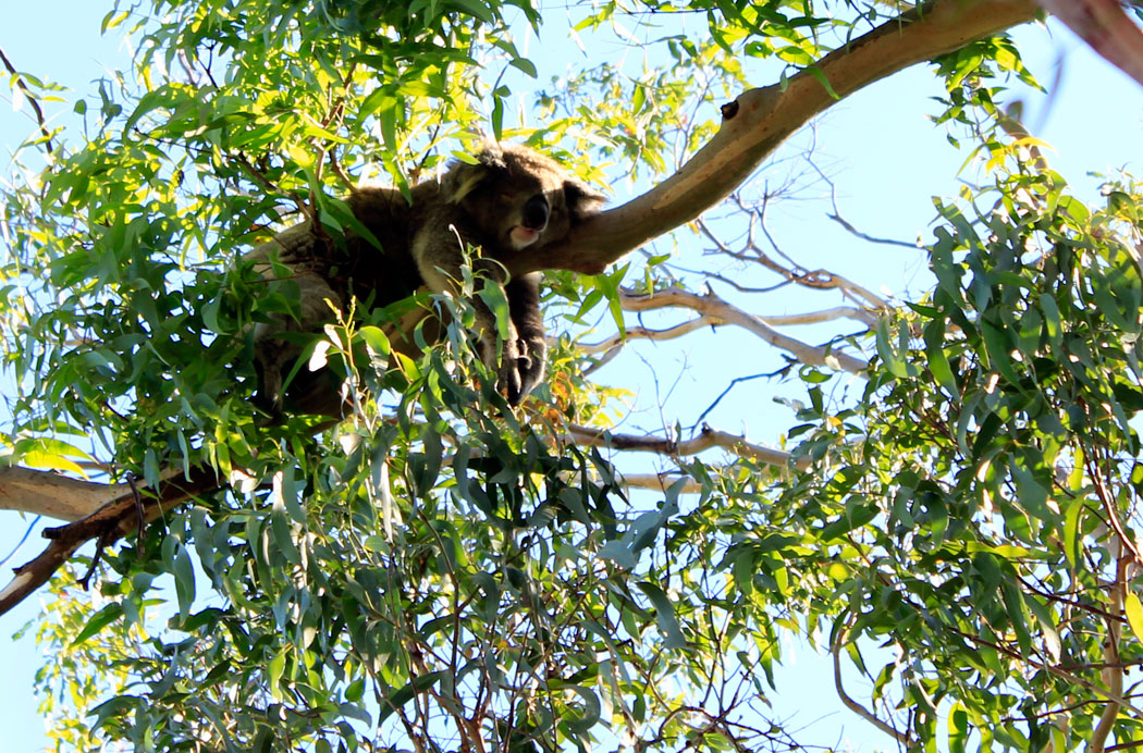 https://i0.wp.com/www.anotherdestination.com/wp-content/uploads/2016/03/koala1.jpg?fit=1050%2C692