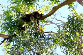 Best koala spotting in Australia