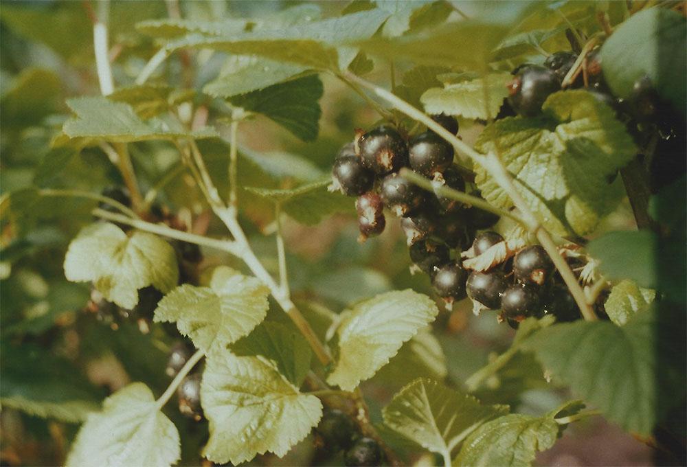 Blackcurrant berries