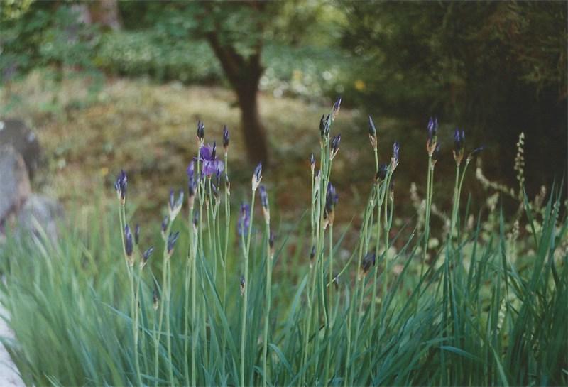 Irises | another reverie