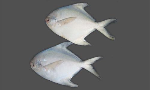 White Pomfret Anrajfishcom