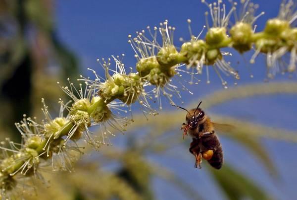 Studio italiano trova gene-chiave moria api