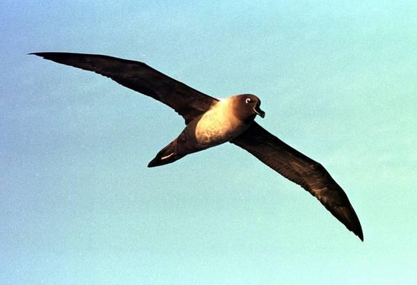 Un albatros di 62 anni depone uovo e cova piccolo