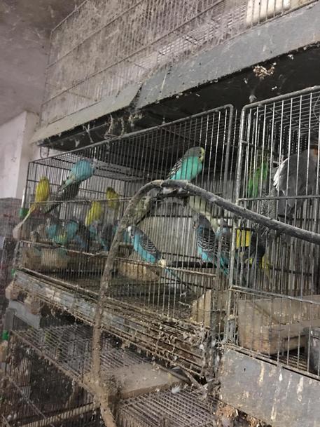 Canarini e pappagalli stipati in gabbie, denunciato a Trapani © ANSA