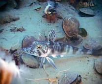 In Antardide studiati pesci 'ghiacciolo'