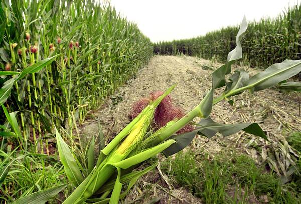 Firmato decreto divieto coltivazione Ogm