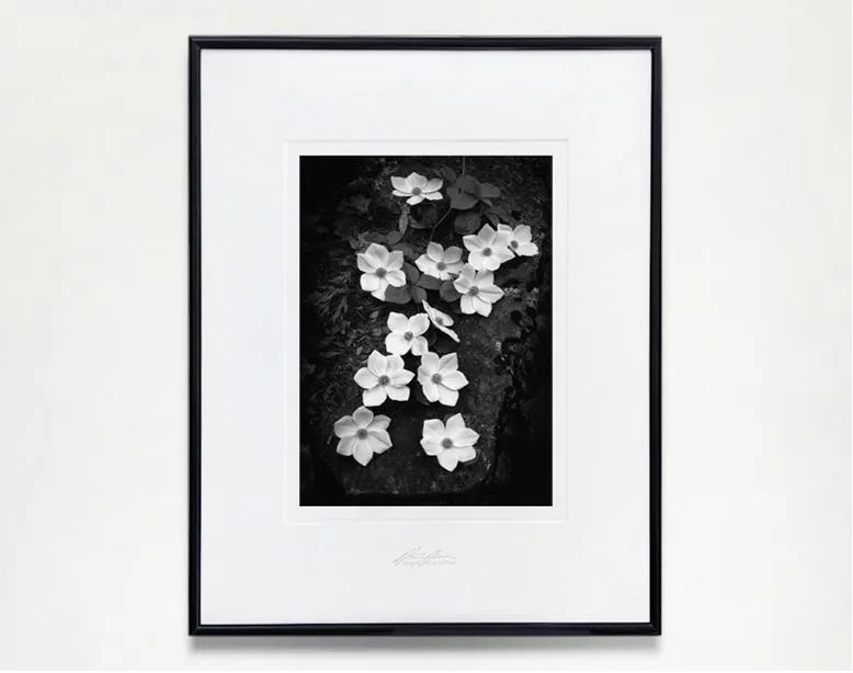 """Ansel Adams, """"Dogwoods,"""" Yosemite Special Edition Photograph from the series started in 1958. Exclusively from The Ansel Adams Gallery, these gelatin silver prints are handcrafted by Ansel's last assistant Alan Ross."""