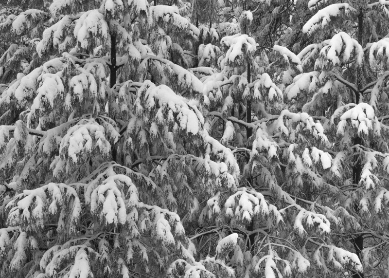 Pine Bows in Snow