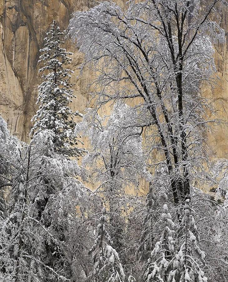 Snow-covered Trees, El Capitan, Winter Morning