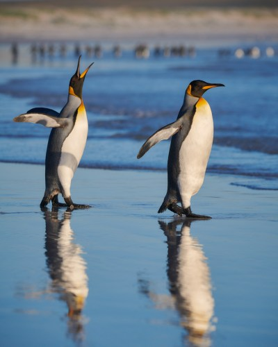 A couple of king penguins in the Falklands
