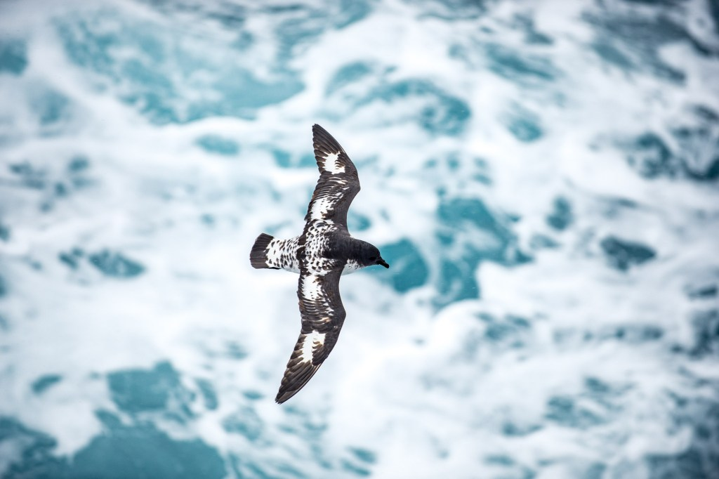 Cape o Pintado Petrel photographed by Mathew Farrell on an Antarctica Express, on board Hebridean Sky.