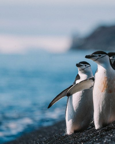 Chinstrap penguins in Antarctica. Photography by Machu, on a Classic Antarctica Air-Cruise.