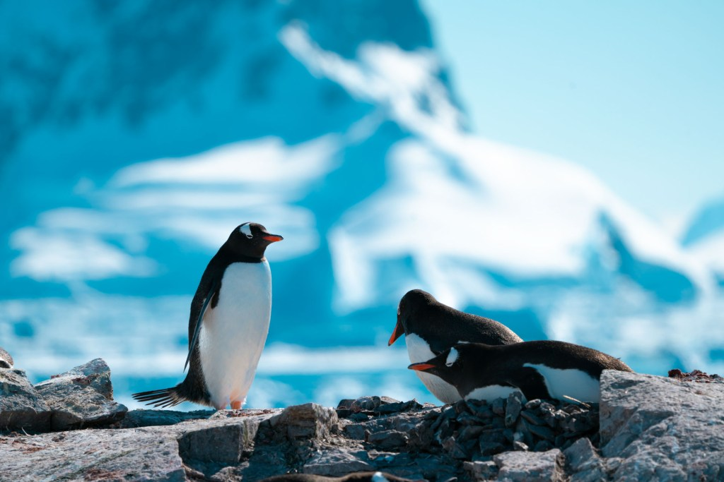 Gentoo penguins in Antarctica. Photography by Machu, on a Classic Antarctica Air-Cruise.