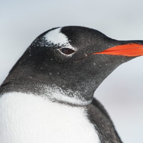 Close up photography of Gentoo penguin in Antarctica, by Ruslan Eliseev.