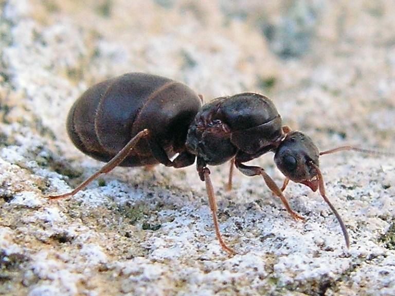 black ant bites