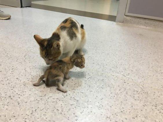 O pisică și-a cărat puiul bolnav la spital.