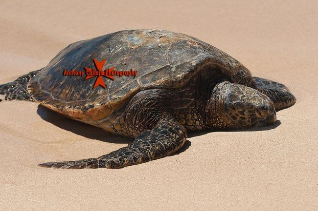 Hawaiian Sea Turtles Oahu Sealife Photography