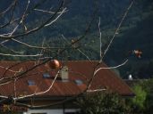 Fruit hangs from a bare tree in Meiringen