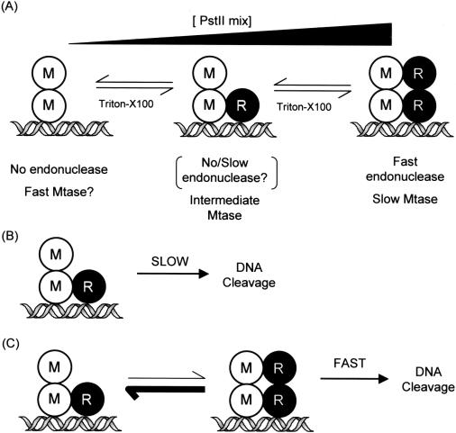 Subunit assembly modulates the activities of the Type III
