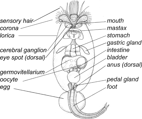rotifer diagram labeled 2006 ford expedition wiring whole mount in situ hybridization the brachionus highslide js