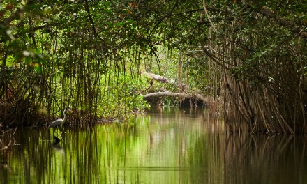 Somos el país con los manglares más altos en América Latina