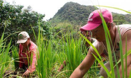 El arroz secano es una alternativa alimentaria