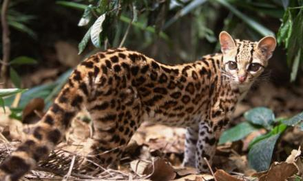 Importante presencia de felinos silvestres en Antioquia
