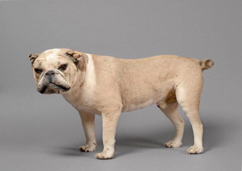 Taxidermy bulldog