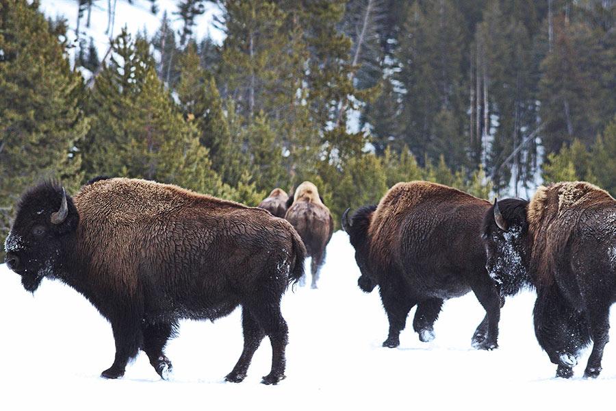 Buffalo_Herd_in_Yellowstone