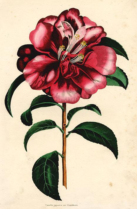 Camellia japonica, 1838
