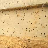 cara menghilangkan hama bubuk kayu