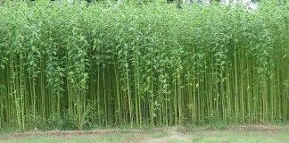 tanaman penghasil serat jute