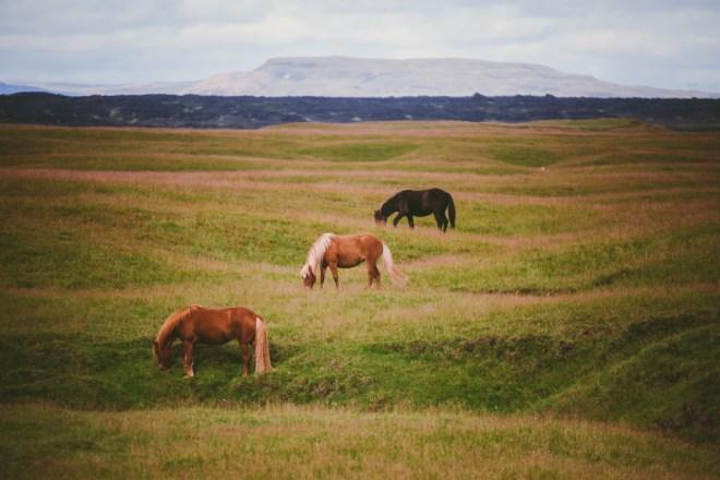Rida islandshäst på Island