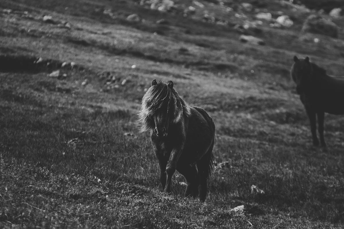 islandshäst färöarna